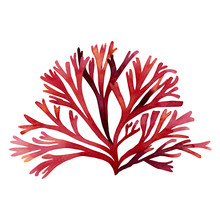 Red Seaweed,kelp, Algae,Coral In The Ocean, Watercolor Hand Painted Element Isolated On White Background. Watercolor Red Seaweed Illustration Design. With Clipping Path
