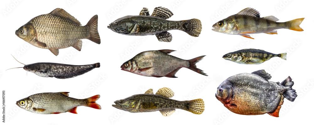 Fototapeta Isolated fish collection set