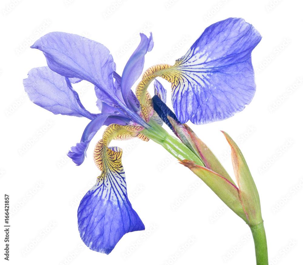 Fototapeta blue iris one bloom isolated on white