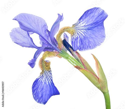 Spoed Foto op Canvas Iris blue iris one bloom isolated on white