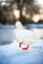 Aylesbury Duck In Winter.