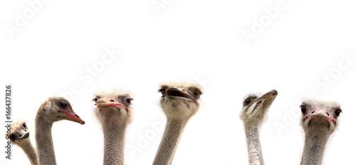 Fotobehang Struisvogel ostriches isolated on white