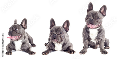 Staande foto Franse bulldog French Bulldog dog full-length isolated