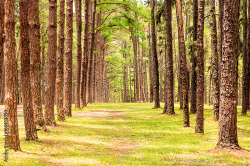 Photo Stands Road in forest Row of pine trees