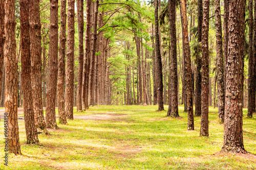 Recess Fitting Panorama Photos Row of pine trees