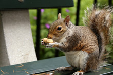 Squirrel Holds A Peanuts On Be...