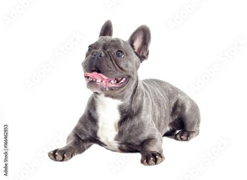 Foto op Plexiglas Franse bulldog French Bulldog dog full-length isolated