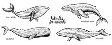 Whales Vector Hand Drawn Illus...