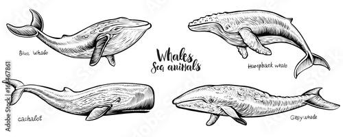 Fotografie, Obraz  Whales vector hand drawn illustration.