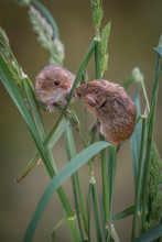 Two Harvest Mice Climbing And ...