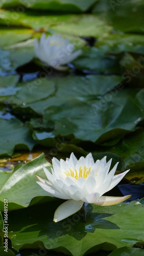 Photo Stands Water lilies lotus 17