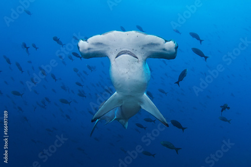 Obraz A Scalloped Hammerhead in the Galapagos - fototapety do salonu