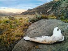 Jaw Bone At A Patagonian Desert