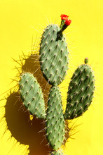Opuntia Cactus On Colorful Background