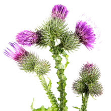 Welted Thistle (Carduus Crispus) Isolated On White Background. Medicinal Plant