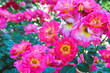 Bush of beautiful pink roses in bloom, flowerbed of roses
