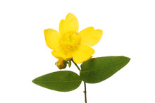 Hypericum Flower And Foliage
