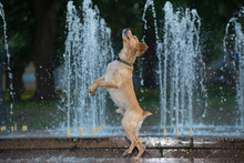 The Dog Dances With Splashes O...