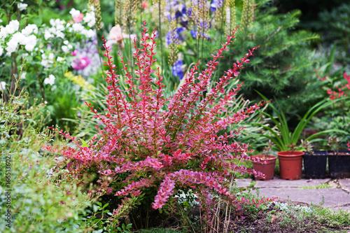 Berberis thunbergii Red Carpet ornamental perennial shrub in the garden landscap Wallpaper Mural