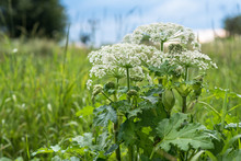 Heracleum Is Poisonous Plant