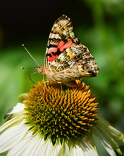 American Painted Lady Butterfly On White Cone Flower