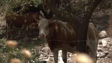 Herd Of Cattle Standing Under Trees In Israel