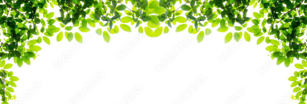 Fototapety, obrazy: Green leaf and branches on white background