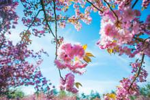 Japanese Cherry Tree Pink Flowers Against Blue Sky, Paris, France