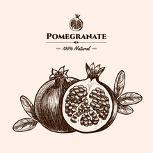 Vector Background With Pomegranate. Hand Drawn. Vintage Style