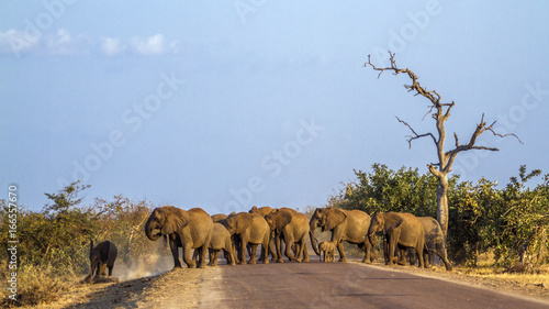 Photo  African bush elephant in Kruger National park, South Africa