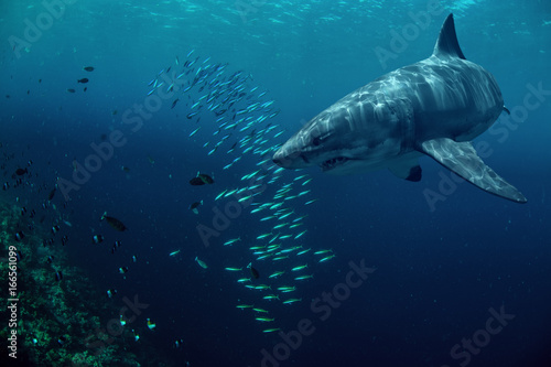 Fototapety, obrazy: Great white shark hunting fish in deep blue water of sea