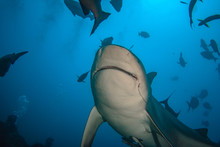A Shark Underwater Sorrounded By Fish In Blue Ocean Water Background. Sharkdiving Photo View From Bottom.