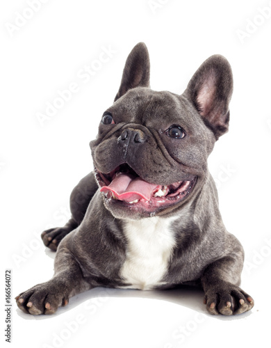 Foto op Plexiglas Franse bulldog French Bulldog dog full-length isolated
