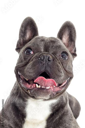 Foto op Plexiglas Franse bulldog Portrait of a French bulldog dog looking