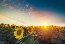 Sunflowers, JAPAN. Field Of Bl...