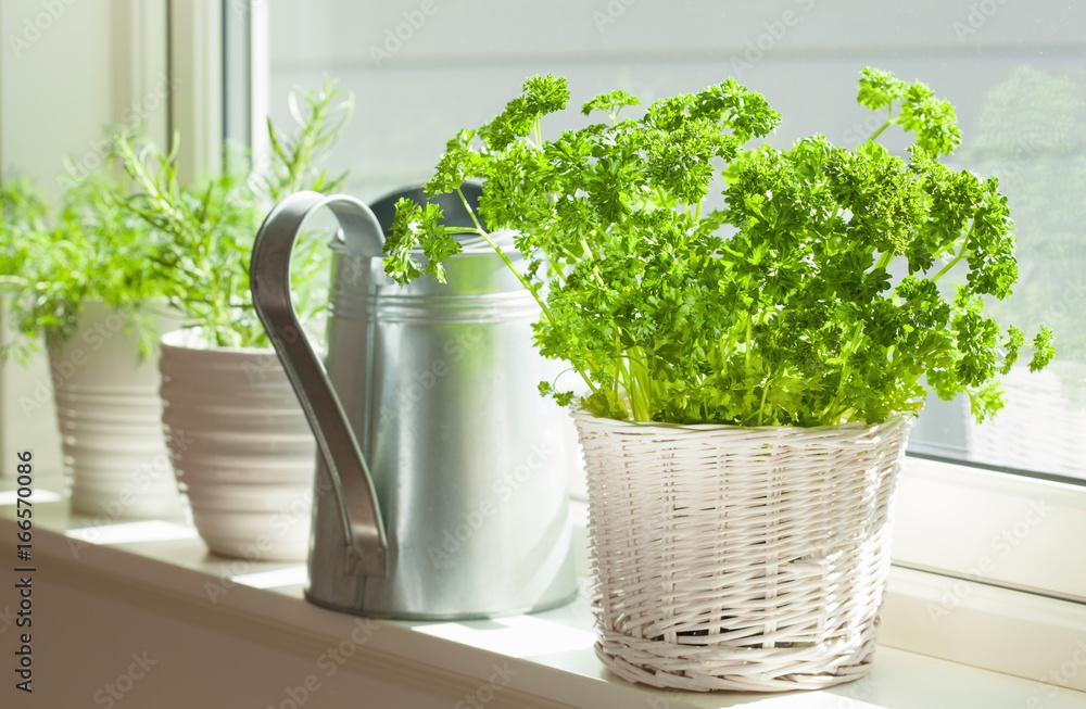 Fototapety, obrazy: fresh parsley herb in white pot on window