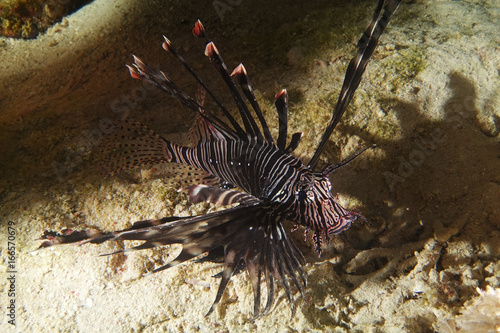 Black lion fish look curious over the sand