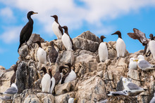 Colony Of Seabirds At Farne Is...