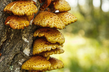 Close-up Photo Of Polyporus Sq...