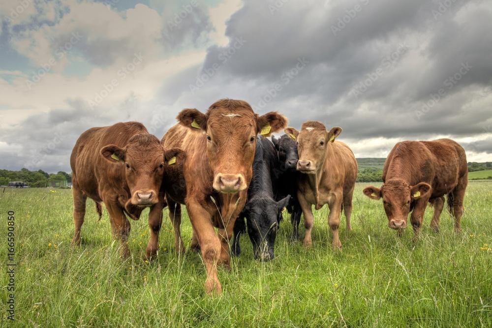 Fototapeta Limousin Bullocks in a Field