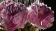Shower for couple of pink peonies on dark background close up. Watering of beautiful flowers in sunshine. Excellent slow motion for vibrant intro in full HD. Amazing shooting with high-speed camera.