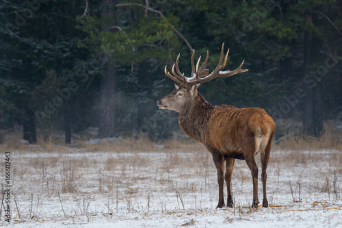 Poster Cerf Winter Wildlife Landscape With Noble Deer (Cervus elaphus),Belarus. Deer With Large Branched Horns On The Background Of Snow-Covered Forest. Beautiful Stag Close-Up, Artistic View. One Trophy Buck