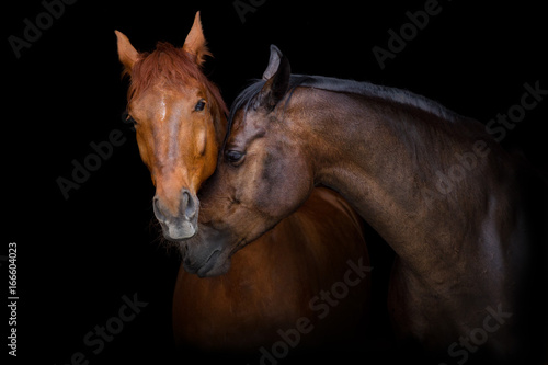 Two horse portrait on black background. Horses in love