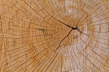 Fototapeta Oak Cross Section Crack