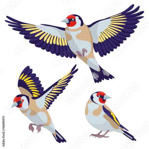 Fototapeta Goldfinch on white background / There are one sitting goldfinch and two flying g