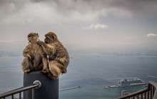Barbary Apes View From Rock Of Gibraltar