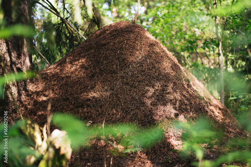 A large anthill in the forest Canvas Print