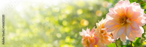 Beautiful Autumn Dahlia Flowers  -  Panorama, Banner