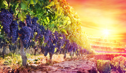 Ripe Grapes In Vineyard At Sunset - Harvest