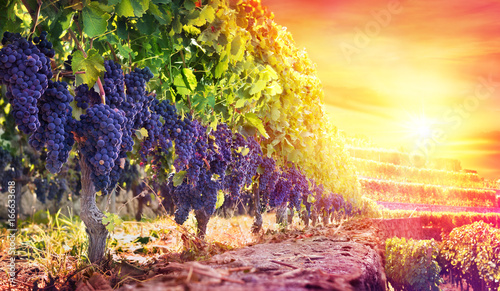 Photo sur Aluminium Vignoble Ripe Grapes In Vineyard At Sunset - Harvest